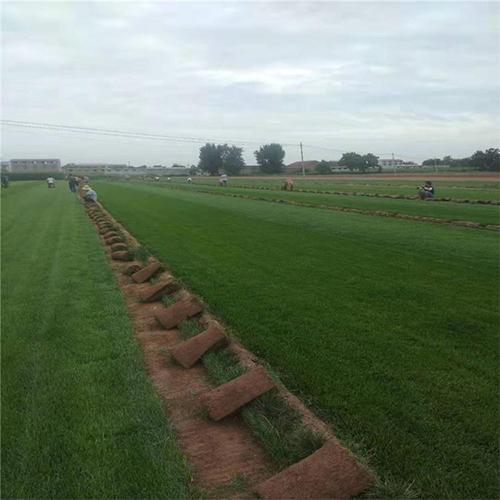 草坪种植基地