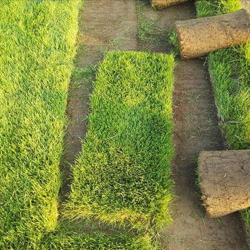 石家庄冷季型草坪种植