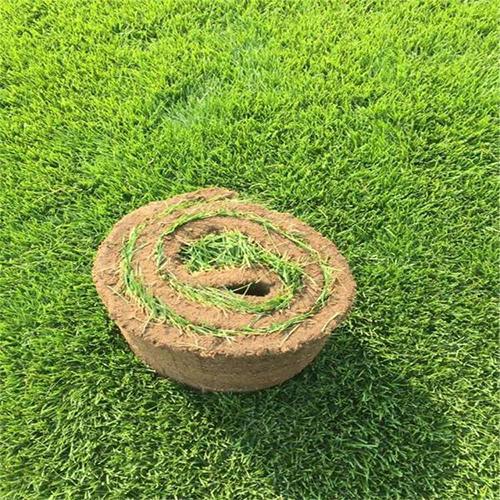 石家庄草坪销售