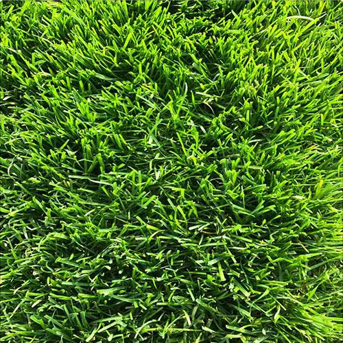 陕西冷季型草坪
