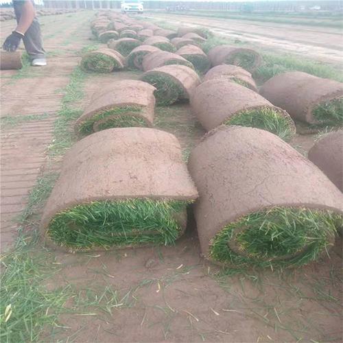 河北草坪种植
