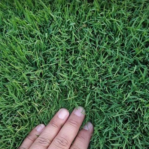 冷季型草坪种植基地