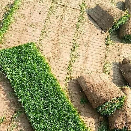 石家庄草坪基地