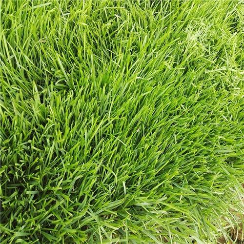 栾城草坪价格