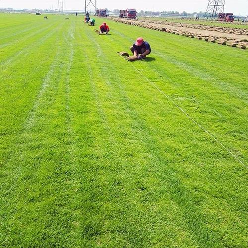 河北草皮种植