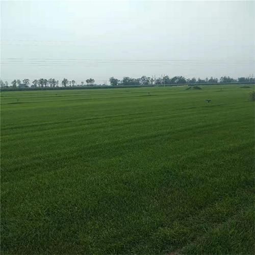 简单介绍早熟禾草坪的基本知识以及对其的管理